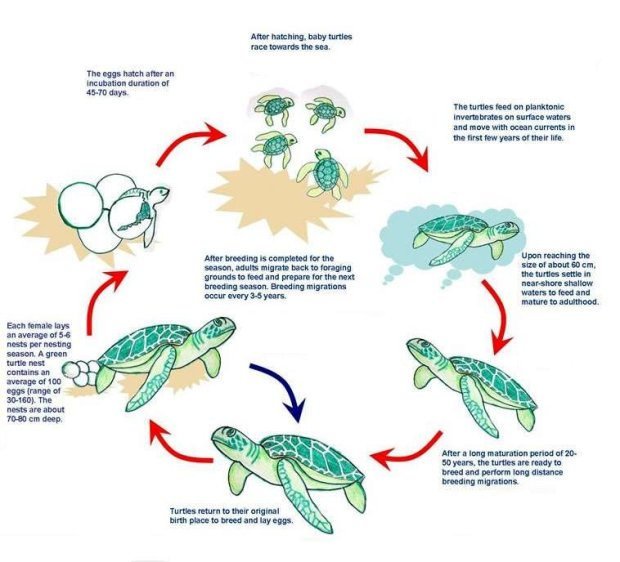 The-life-cycles-of-sea-turtles